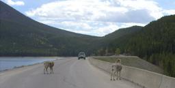 Sheep on bridge