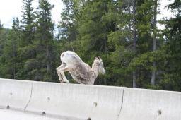 Sheep on bridge 2