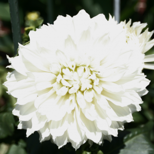 whiteflower2